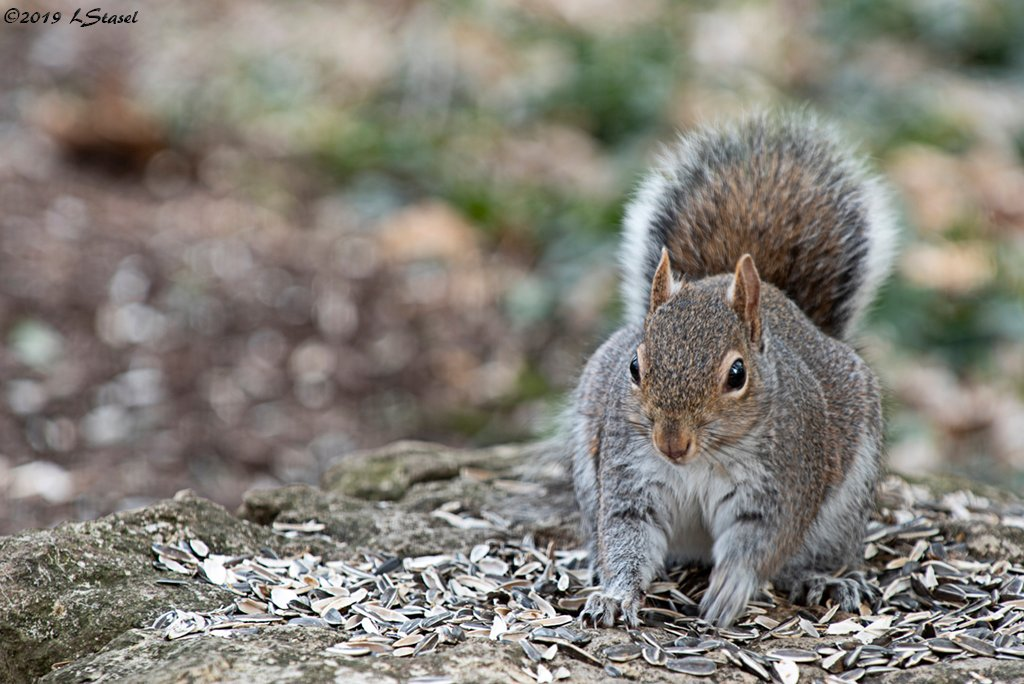 Squirrel by lstasel