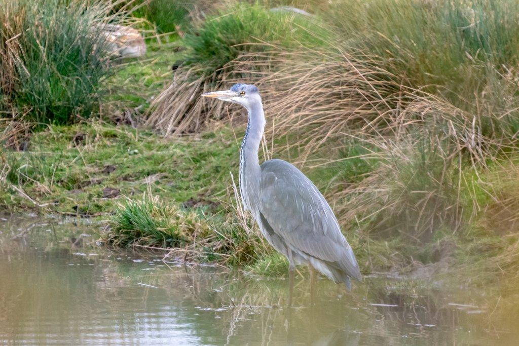 Grey Heron by rjb71