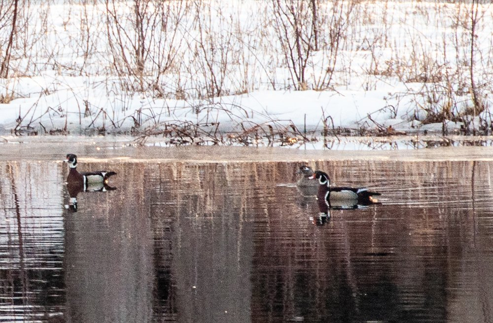 Wood Ducks???? by joansmor
