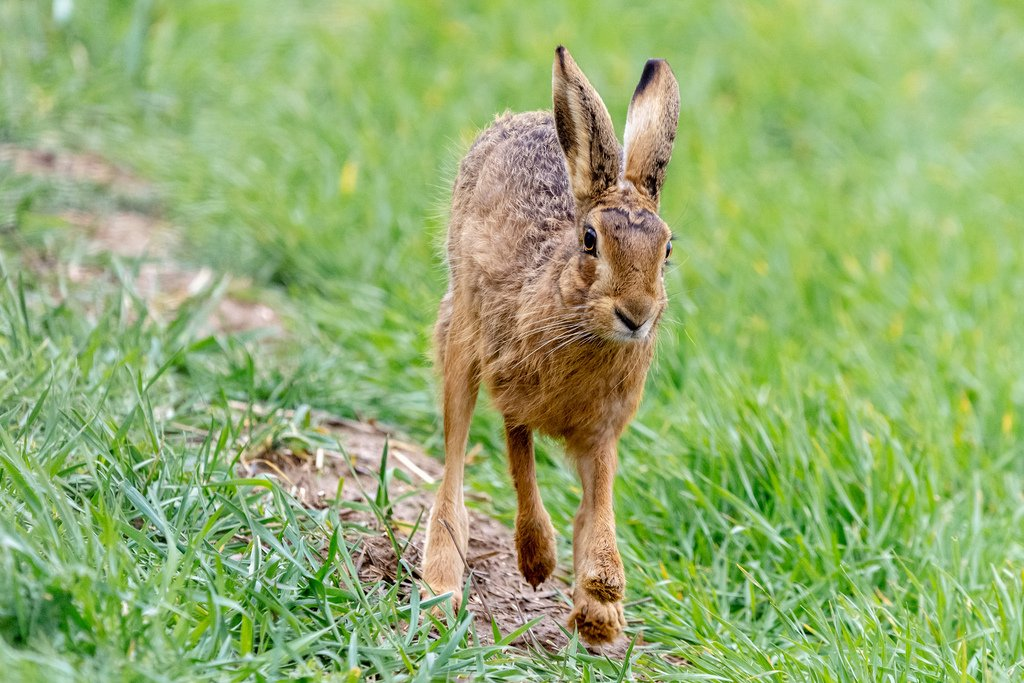 Hare on the Run by rjb71