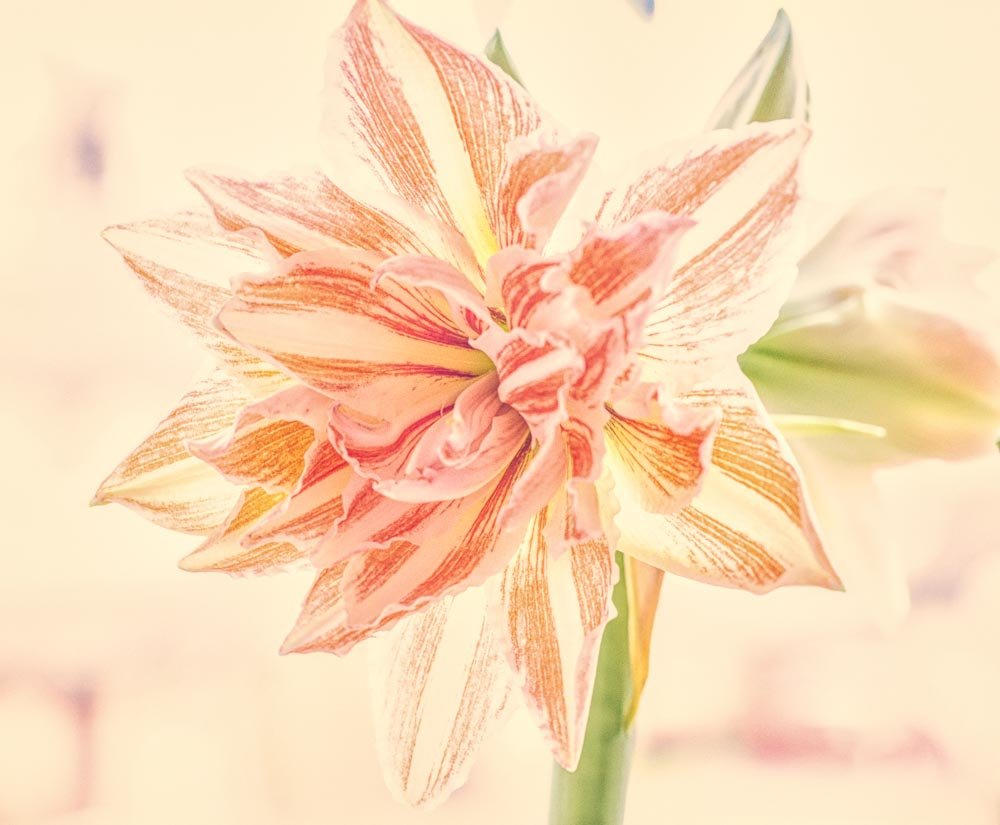 Amaryllis  by pamknowler