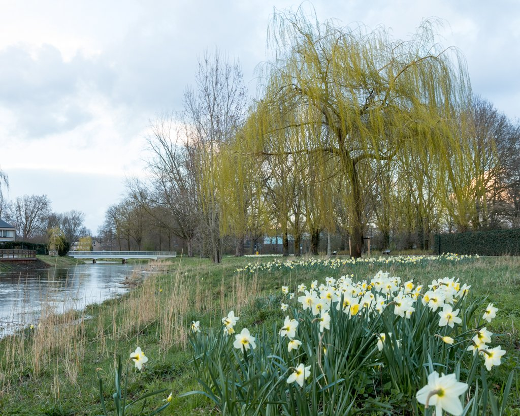 Daffodils and the Tree by leonbuys83