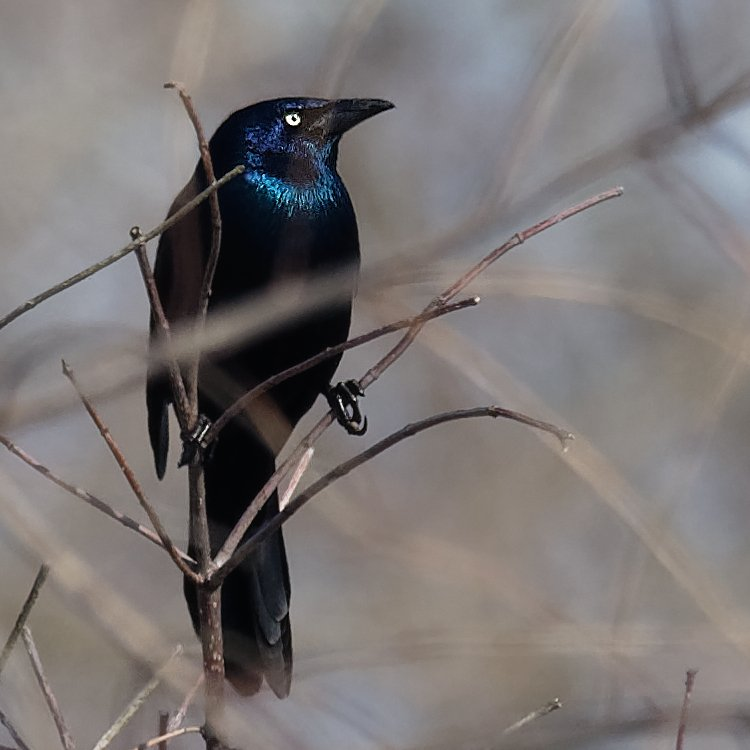 common grackle  by rminer