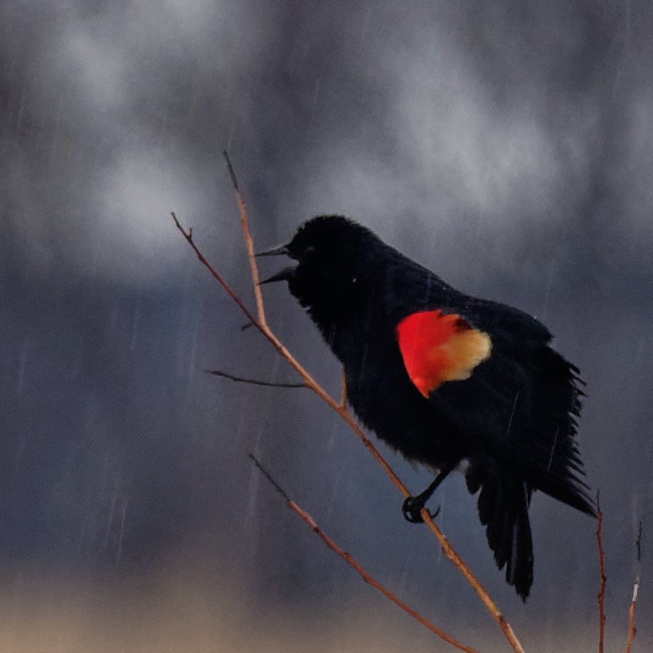 red-winged blackbird in the rain by rminer
