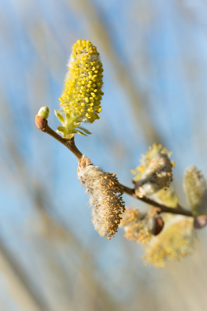 Catkins by leonbuys83