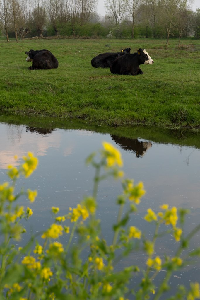 Cows in Field by leonbuys83
