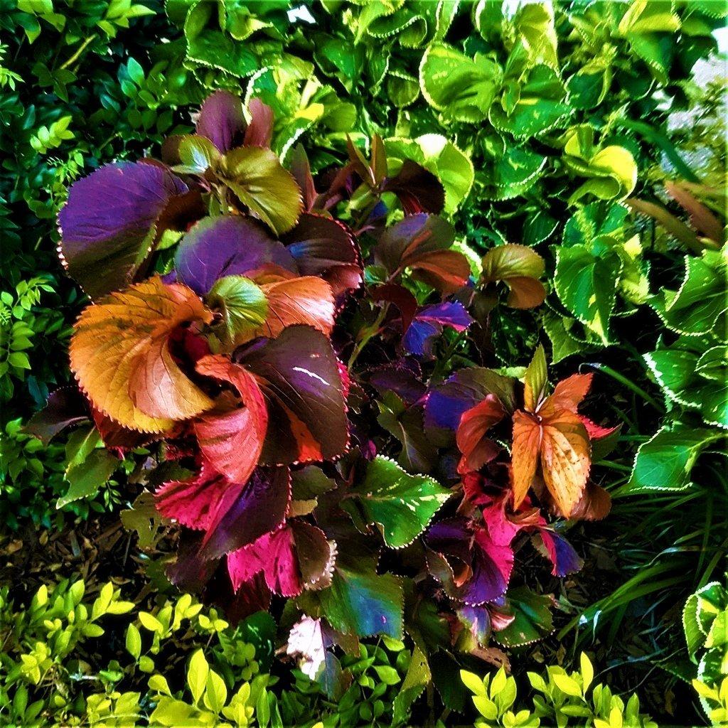 Beautiful Coleus Plants ~      by happysnaps