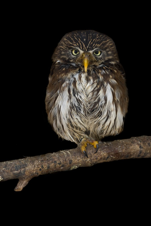 Ferruginous pygmy owl by leonbuys83