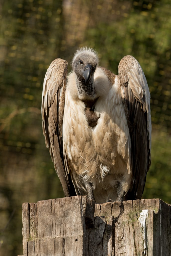 White-backed vulture by leonbuys83