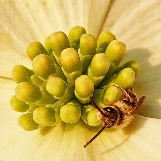 Guess Bees Like Dogwood, Too by milaniet