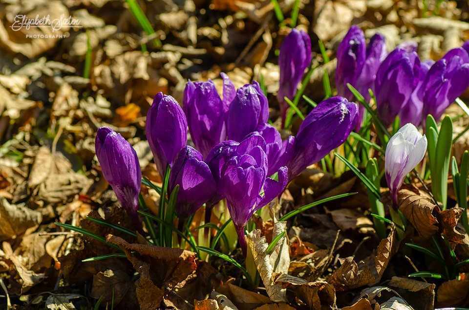 Crocus by elisasaeter