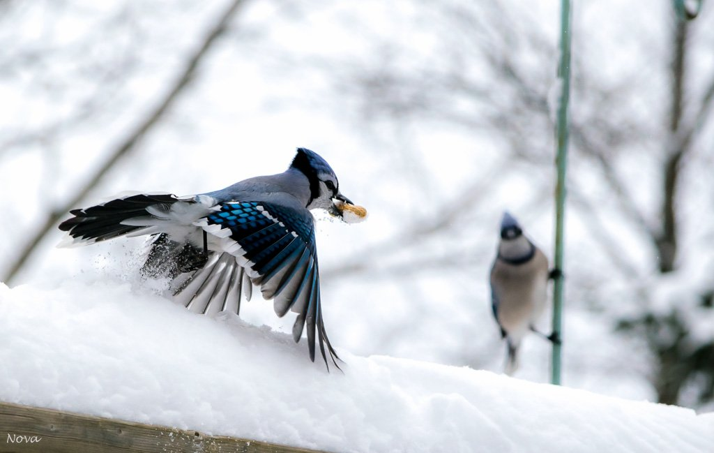 Two jays by novab