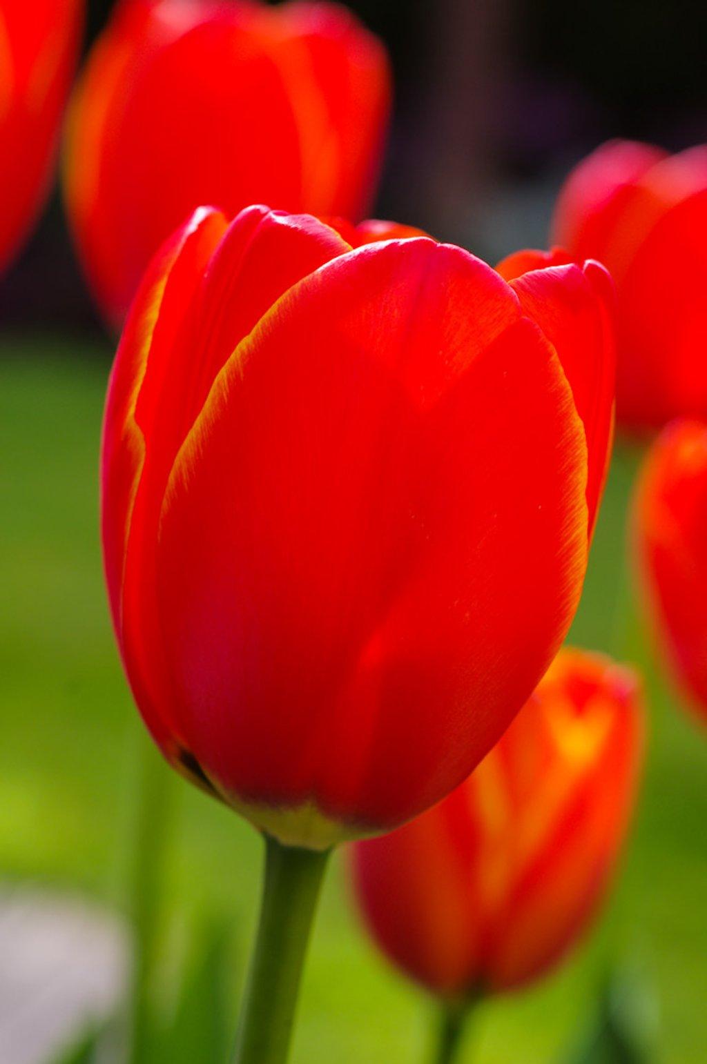 Tulip by ivan