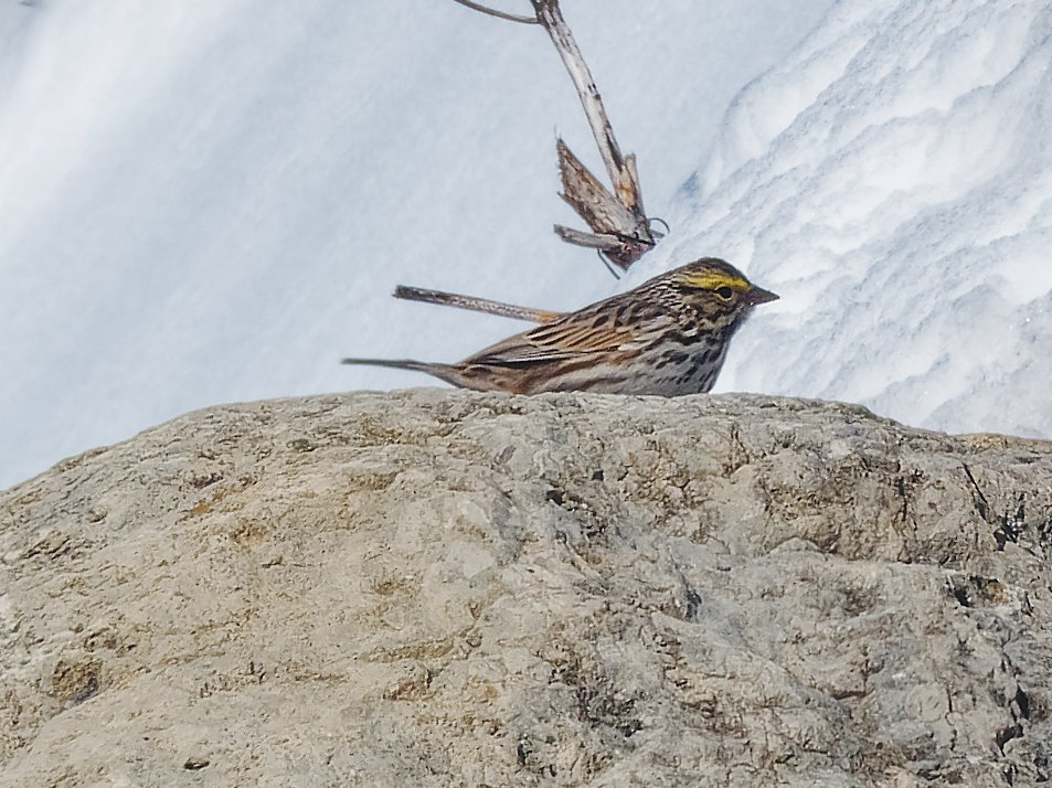 yellow stripe sparrow by rminer