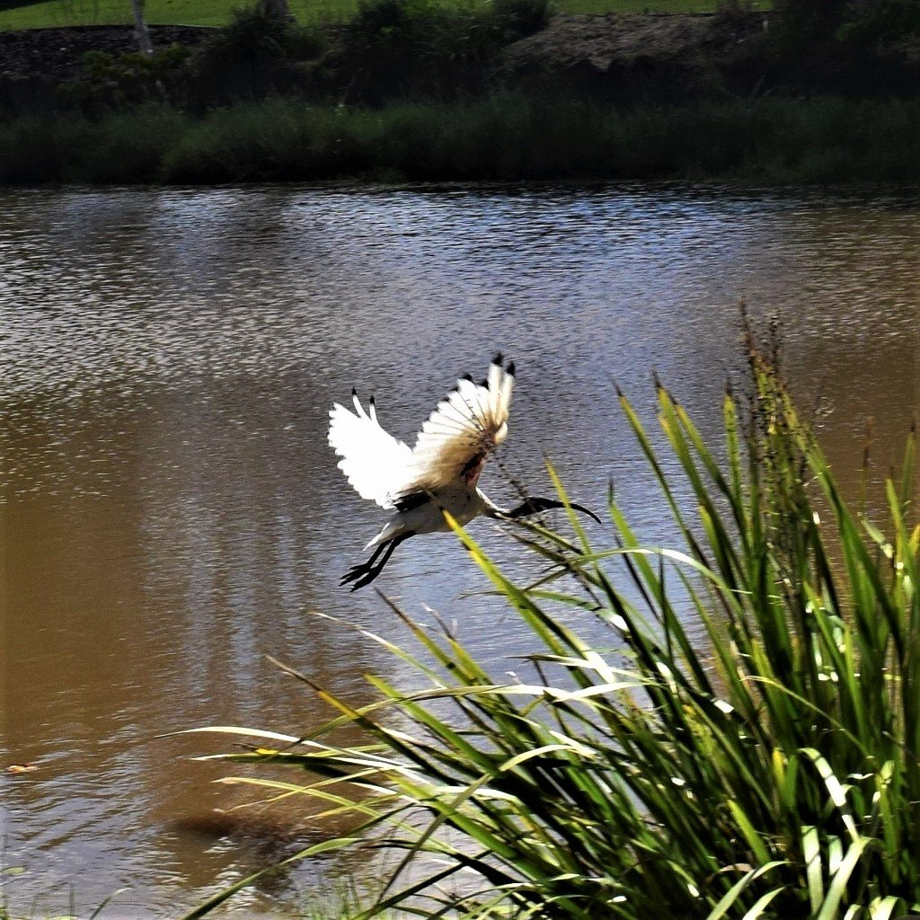 Ibis In Flight ~        by happysnaps