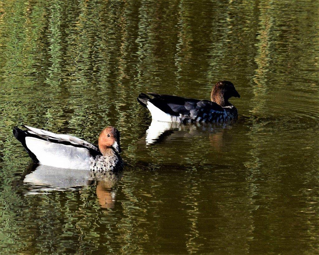 Two Ducks ~    by happysnaps