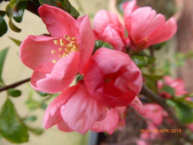 Japonica ... by snowy