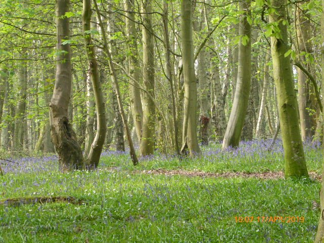 A walk in the bluebell woods by snowy