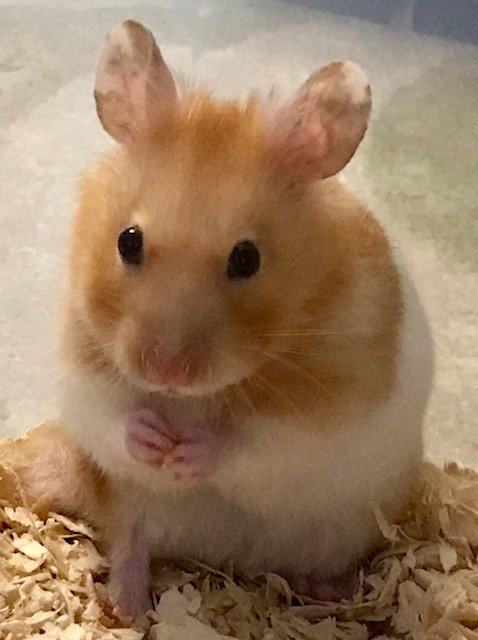 Hammie the Hamster by nicolaeastwood