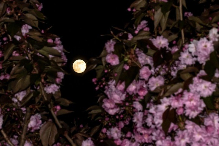 The moon and the cherry tree by rjb71
