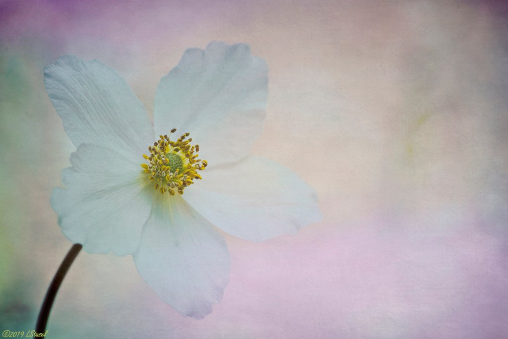 Anemone by lstasel
