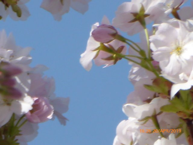 Blue skies and blossom,,,, by snowy