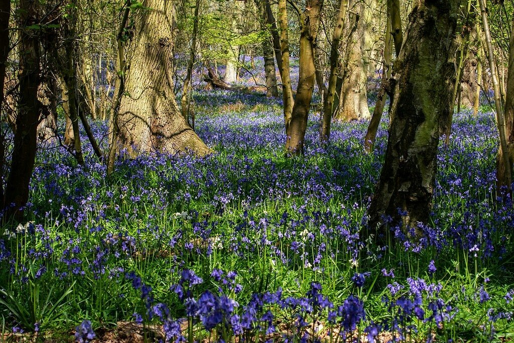 Bluebells are Back! by rjb71
