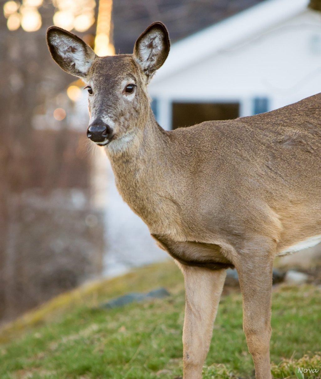 Deer by novab