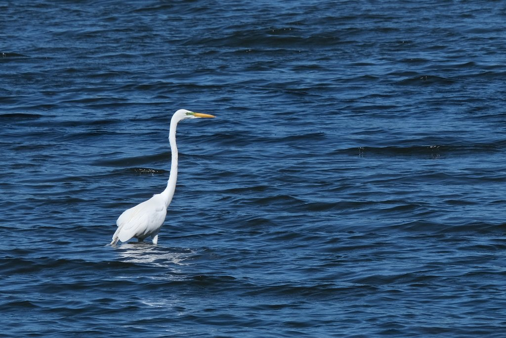 Great Egret by lsquared