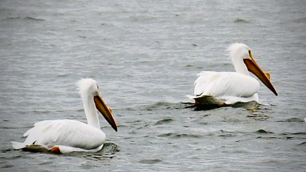 White Pelicans by jin1x