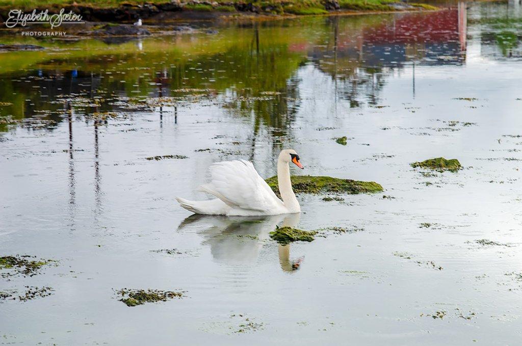 Swan by elisasaeter