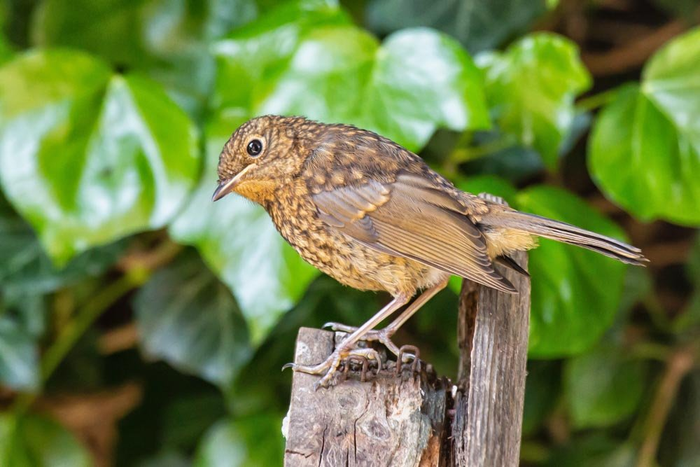 Young robin by pamknowler