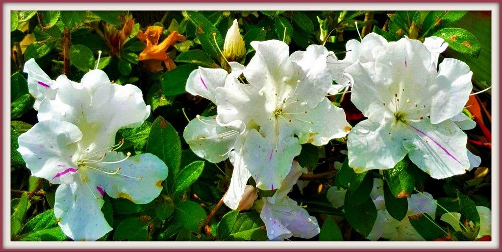 Three White Azaleas ~   by happysnaps