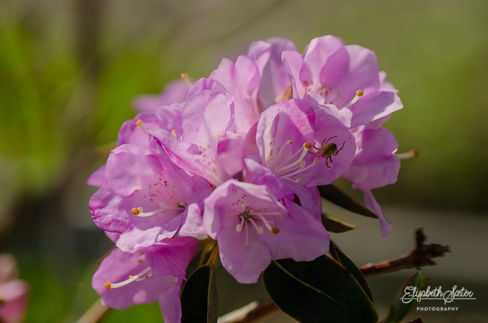 Rhododendron and a spider by elisasaeter