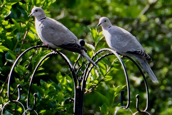 Two ring collar Doves.... by carole_sandford