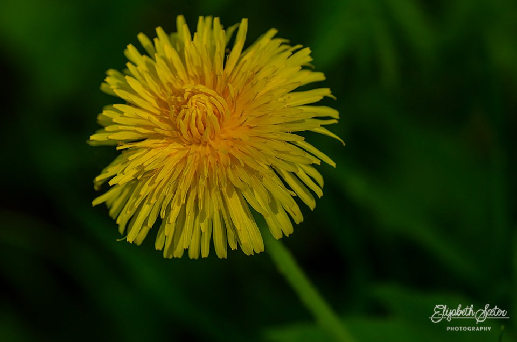 Dandelion by elisasaeter