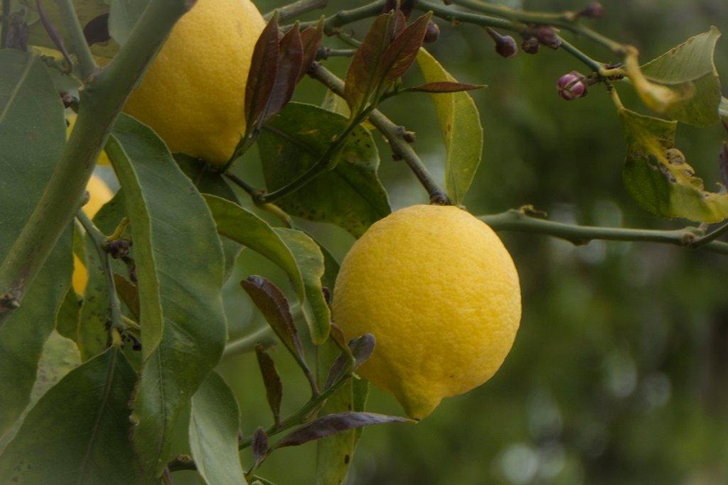 Lemons by helenhall