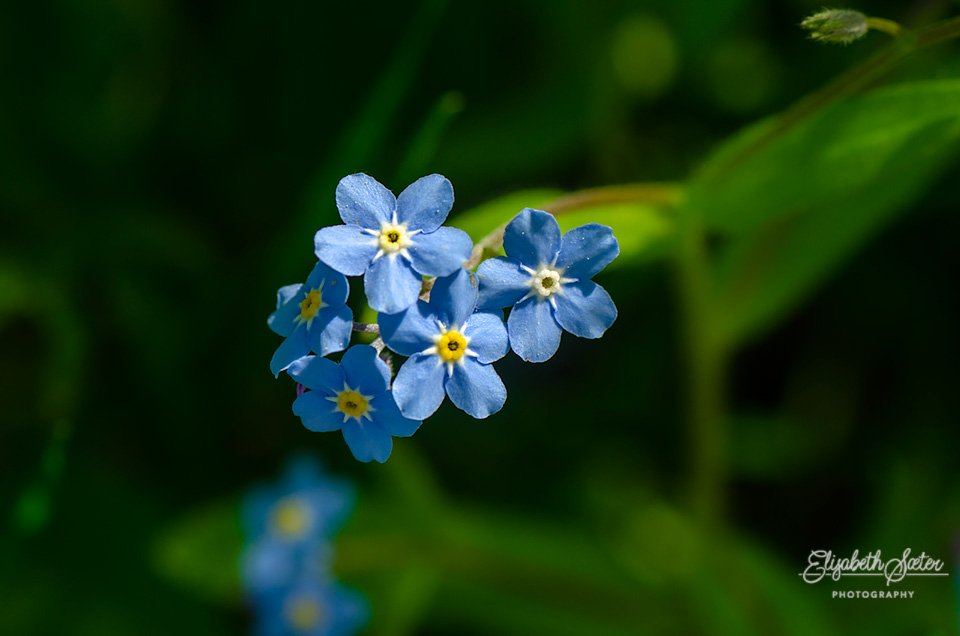 Forget-me-nots by elisasaeter