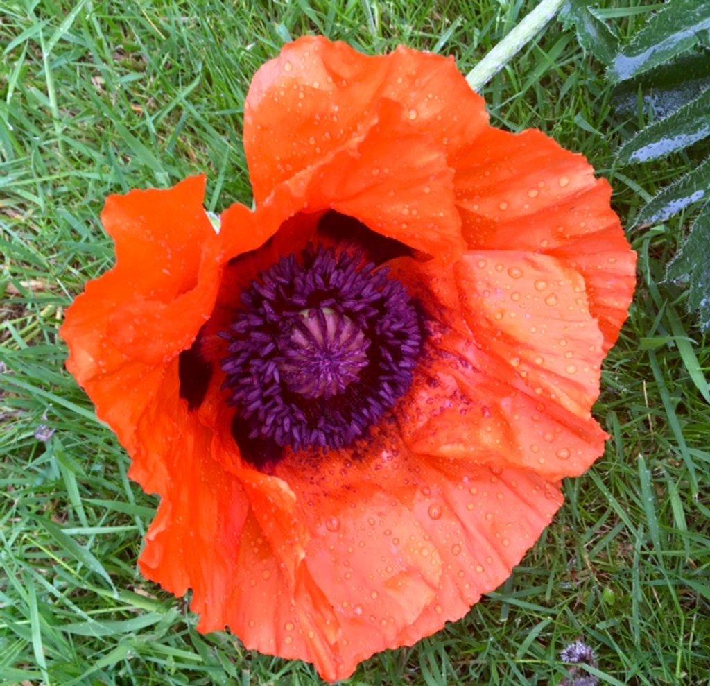 Rain battered poppy! by chris17