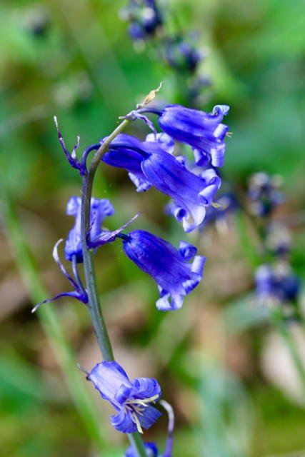 English Bluebell by chris17