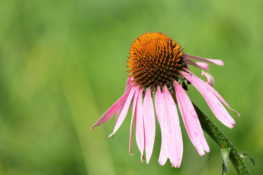 Purple Coneflower by lsquared