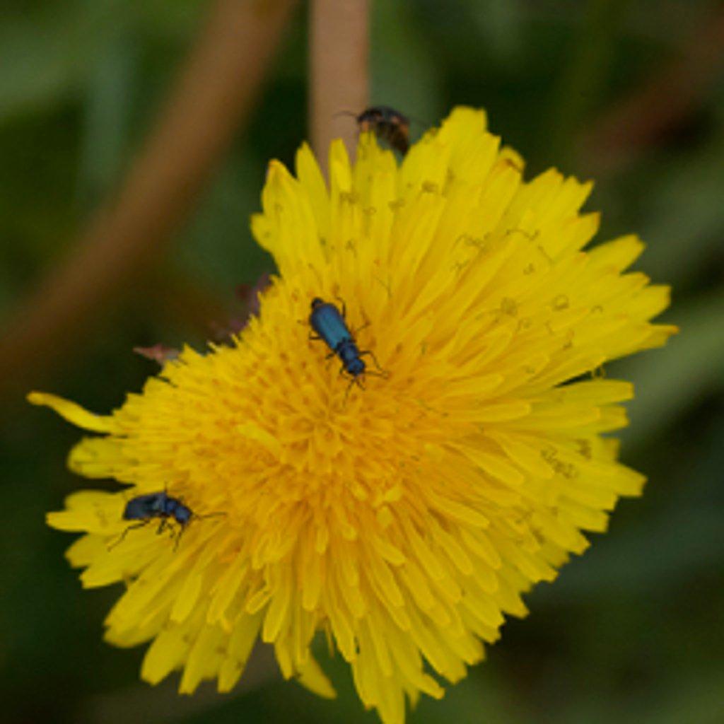 Flower beetle on dandelion flower by dailydelight