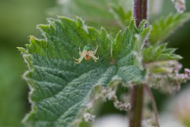 Crab spider on nettle by dailydelight