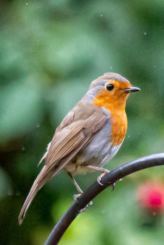Wet robin by pamknowler
