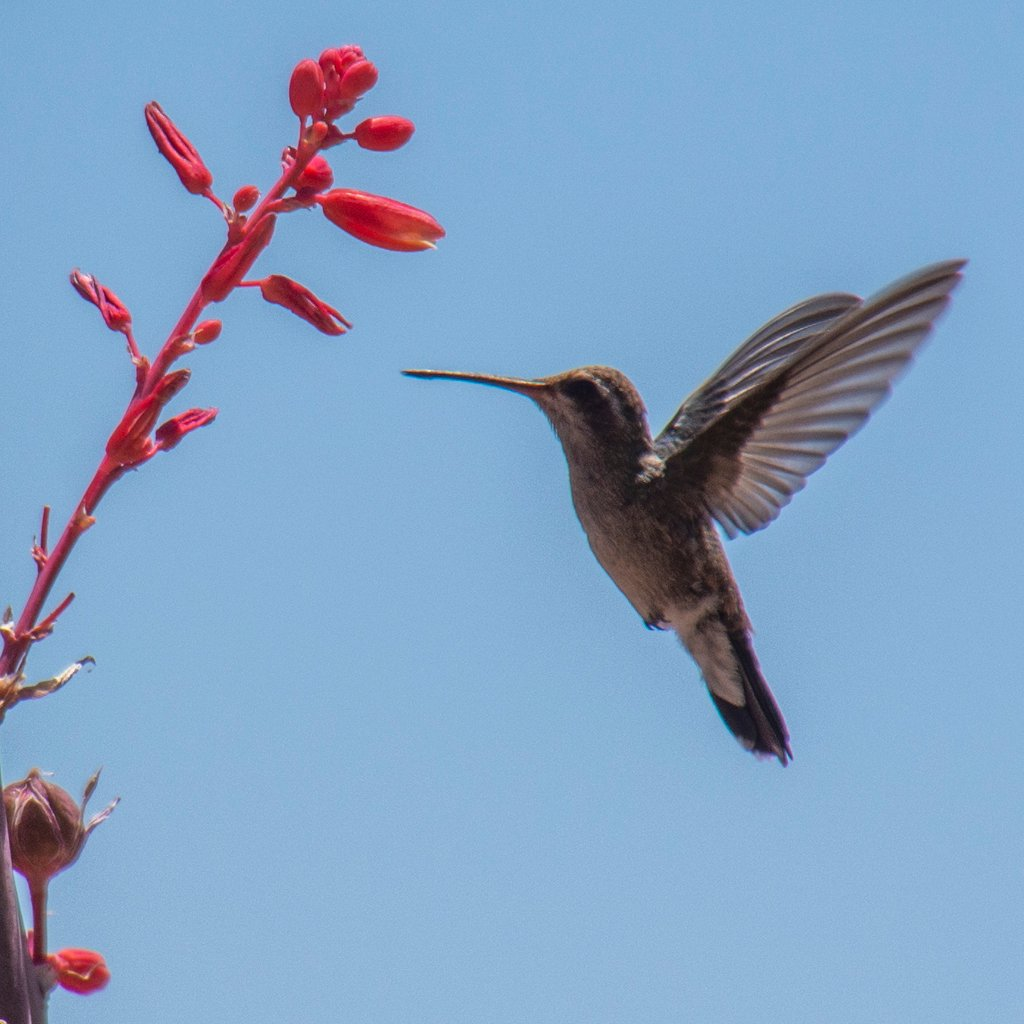 Hummingbird at the Yucca by ksmale