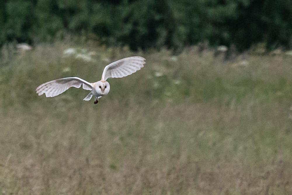 Barn Owl 1 by pamknowler