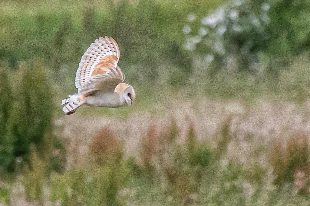 Barn Owl 2 by pamknowler