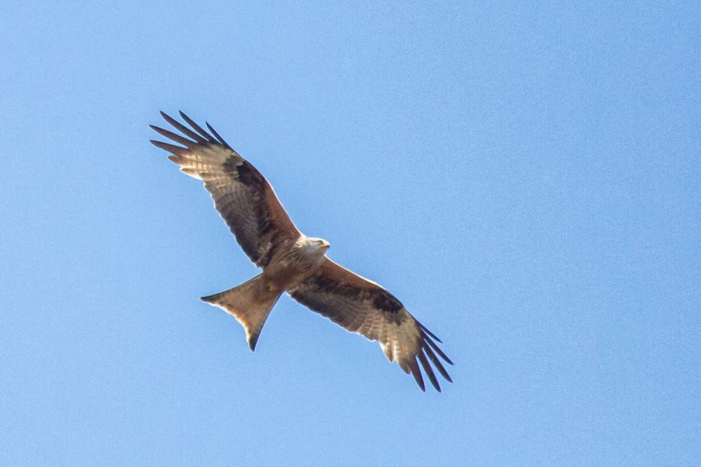 Red Kite flypast by pamknowler