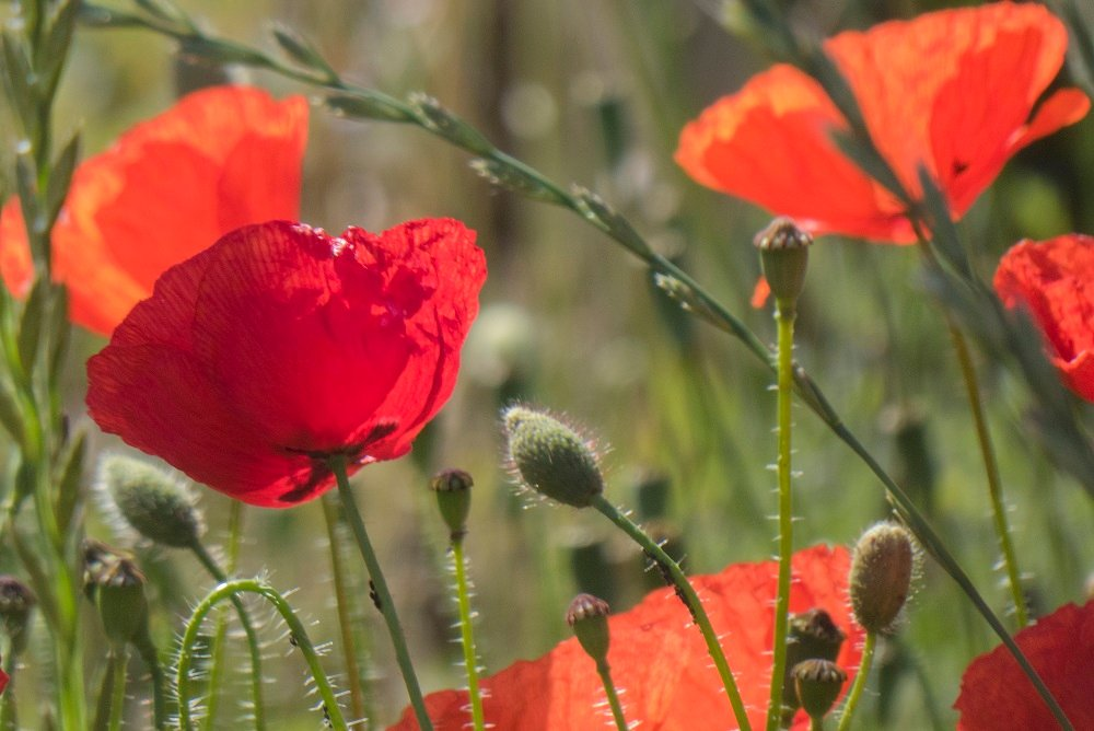 Roadside Poppies by helenhall