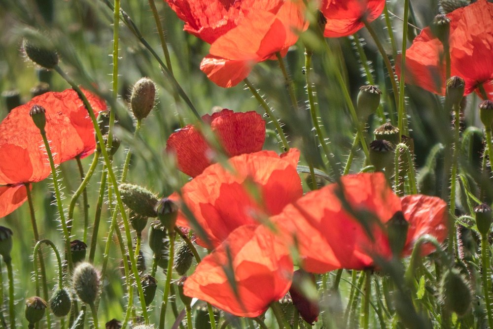 Poppies in the Breeze by helenhall